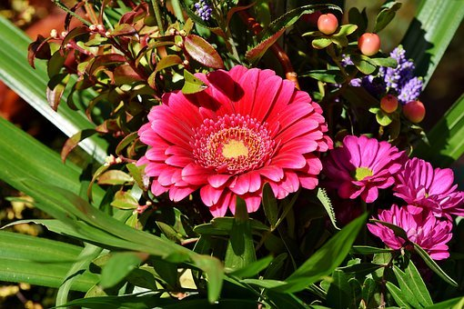 Baberton, Baberton Daisies, Daisy, Flower, Plant