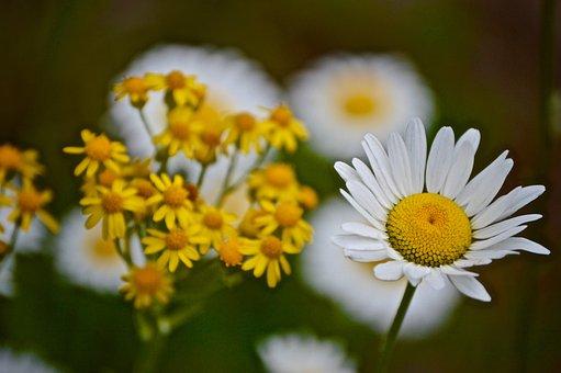 Flower, Flora, Nature, Summer, Hayfield, Daisy, Outdoor