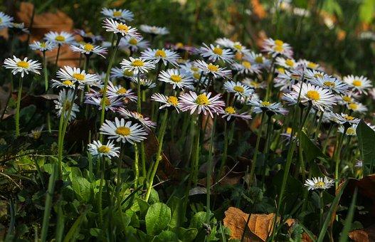 Nature, Flower, Plant, Field, Meadow, Marie Flower