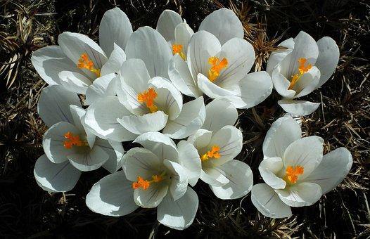 Flower, Crocus, White, Nature, Plant, Color, Garden