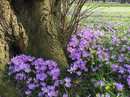 Crocus, Blossom, Bloom, Spring, Early Bloomer, Husum
