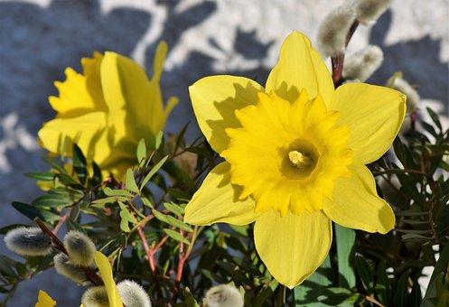 Narcissus, Daffodil, Narcissus Pseudonarcissus