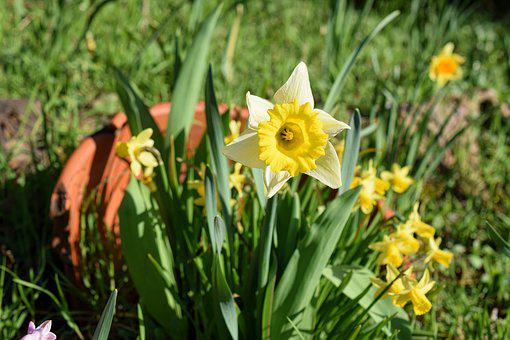 Narcissus, Narcissus Pseudonarcissus, Beetle, Close