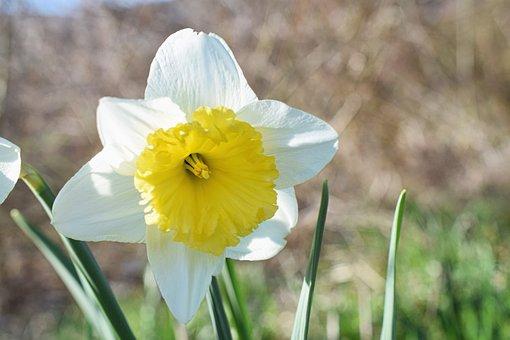 Narcissus, Narcissus Pseudonarcissus, Flower Head