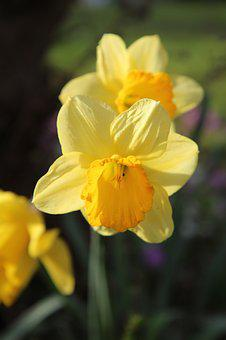 Narcissus, Narcissus Yellow, Daffodil, Flowering
