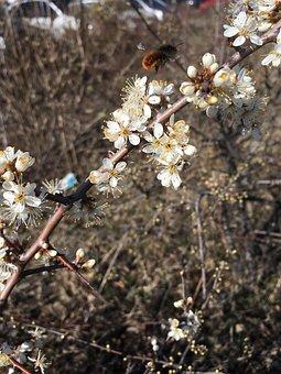 Tree, Branch, Flower, Nature, Cherry Wood, Flowers, Bud