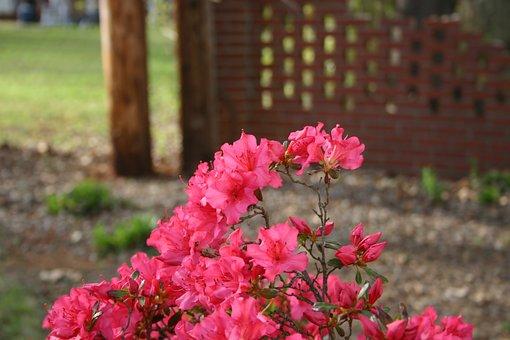 Flower, Azalea, Nature, Flora, Garden, Summer, Pink