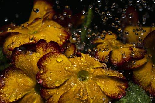 Flowers, Water, Drops, Prymulki, Nature, Autumn, Spring