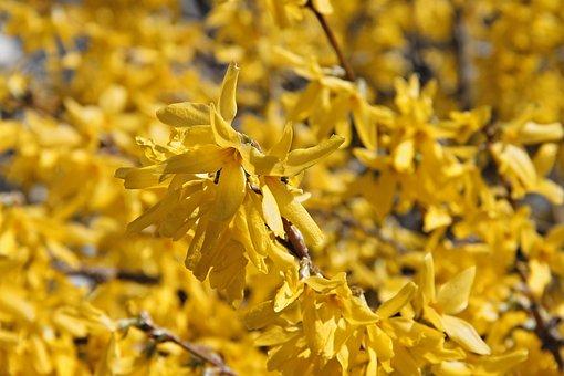Forsythia, Ornamental Shrub, Bloom, Yellow, Flowers
