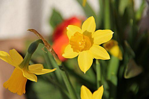 Daffodils, Yellow, Osterglocken, Flower, Spring