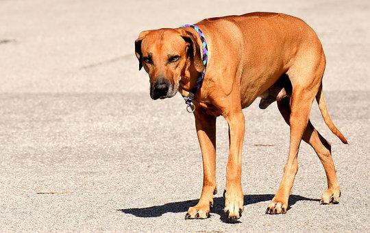 Dog, Pet, Ridgeback, Park, Animal, Cute, Beautiful, Fur