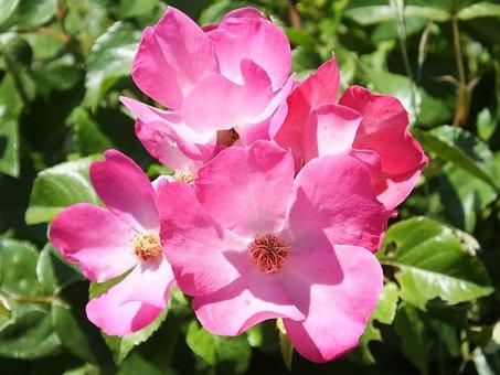 Rose, Wild Rose, Flower, Plant, Nature, Garden