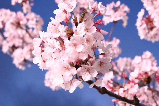 Sakura, Cherry Blossom, Quarter, Cherry Tree, Plants