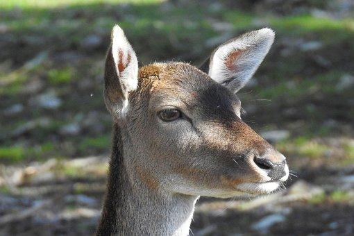 Roe Deer, Fallow Deer, Nature, Mammal, Animal