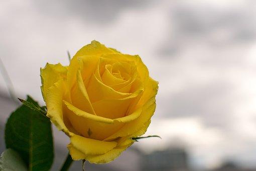 Nature, Flower, Rose, Plant, Petal, Leaf, Floral