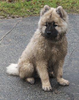 Dog, Puppy, Eurasians, Animal, Sitting, Fur, Dirty, Wet