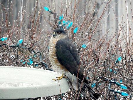 Sharp Shinned Hawk, Raptor, Winter, Snow, Nature, Bird