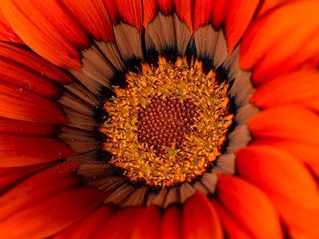 Gazania, Flower, Flora, Stamens, Petal, Nature, Spring