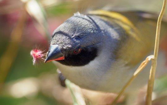 Swee Waxbill, Bird, Seed-eater, Avian, Animal, Nature