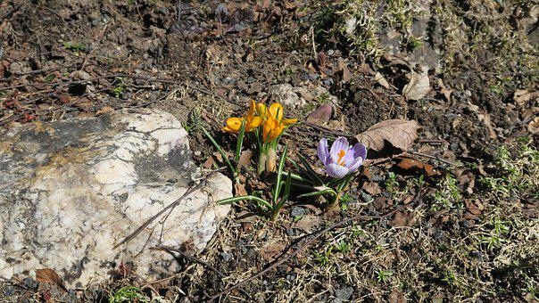 Flowers, Crocus, The Color Of Spring, Spring, Heat