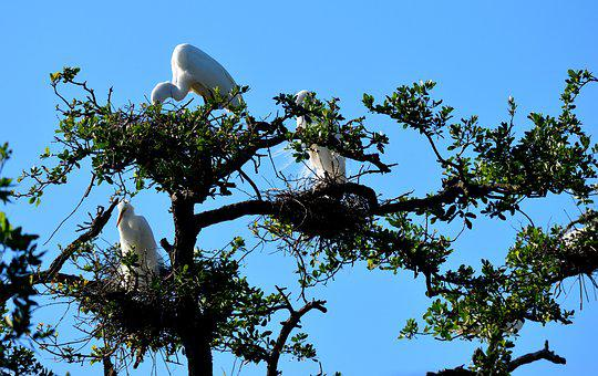Tree, Nature, Sky, Branch, Outdoors, White Herons