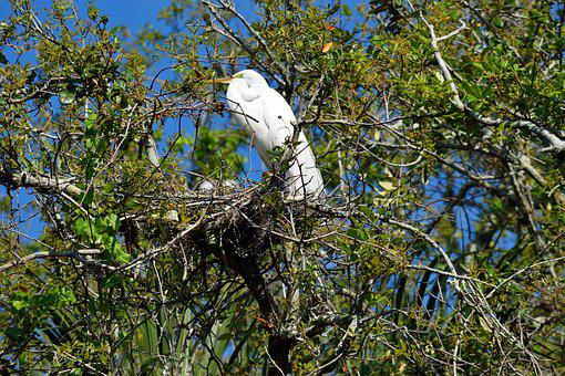 White Heron, Wildlife, Egret, Nesting, Tropical Bird
