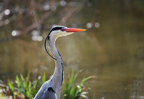 Grey Heron, Heron, Bird, Waterbird, Predator, Animal