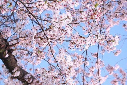 Cherry Blossom, Cherry Tree, Wood, Quarter, Flowers