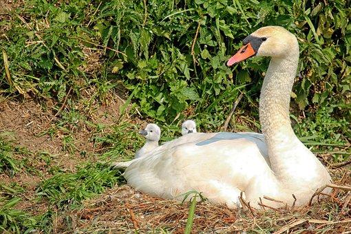 Swan, Baby Swans, Waterfowl, Nest, Bernhard Klepel
