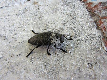 Macro, Beetle, Yana, Insects, Arthropoda