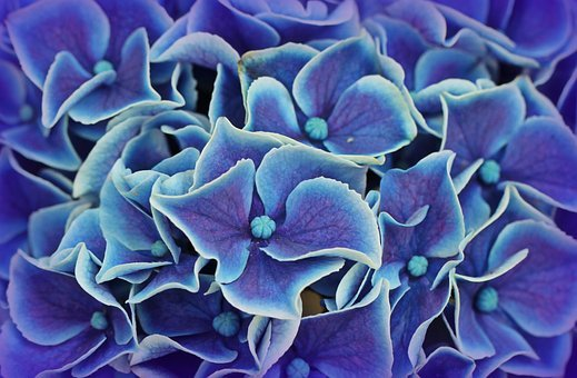 Hydrangea, Hydrangea Flowers, Blossom, Bloom, Flower