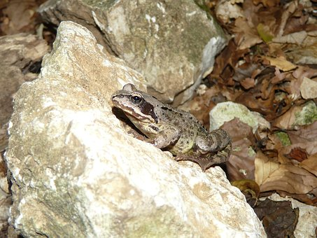 Nature, Frog, Animal, Avar, Amphibian, Brown, Forest