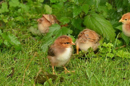 Bird, Chicken, Chick, Poultry, Young, Small, Grass