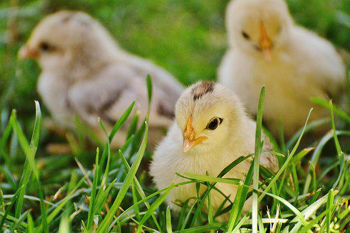 Chicks, Chicken, Small, Poultry, Young Animal, Fluff