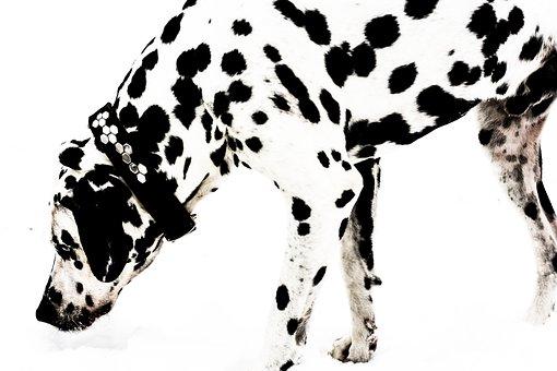 Dalmatian, Dog, Snow, Bland And White, Animal, Black