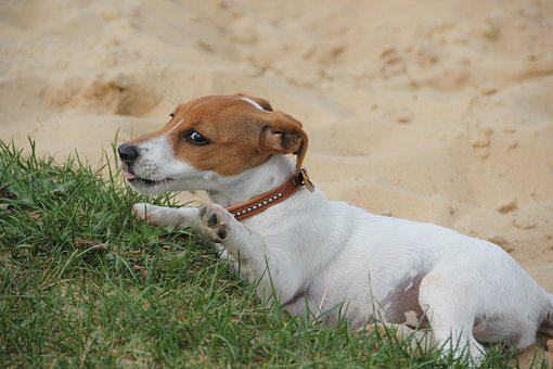 Hello, Played Enough, Jackrussel Puppy, Dog Puppy