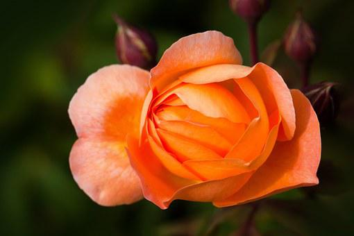 English Shrub Rose, Flower, Petals