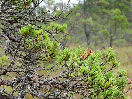 Pine, Blata, Peat-bog, Winding, False, Branches, Spooky