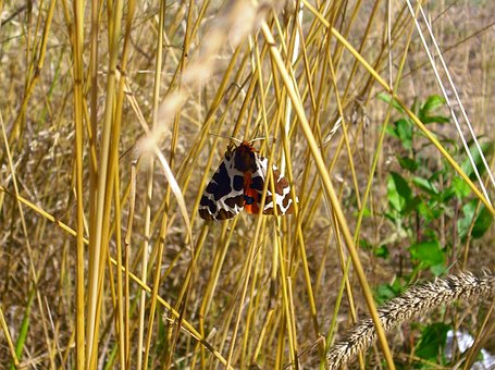 Butterfly, Brown Bear, Moth, Insect, Flight Insect