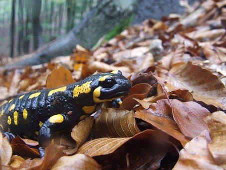 Salamander, Animal, Moisture, Autumn, Avar, Forest