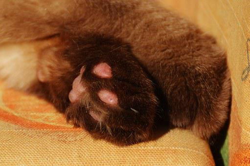 Cat, British Shorthair, Paws, Funny, Thoroughbred, Fur