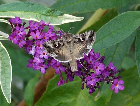 Gamma Owl, Butterfly, Noctuinae Stubs, Summer Lilac