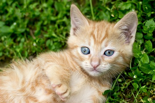 Ginger Kitten, Red Kitten, Tabby Kitten, Blue, Eyes