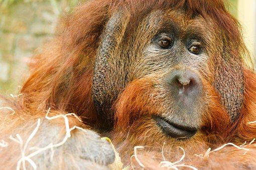 Adult, Animal, Ape, Face, Hair, Hairy, Jungle, Male