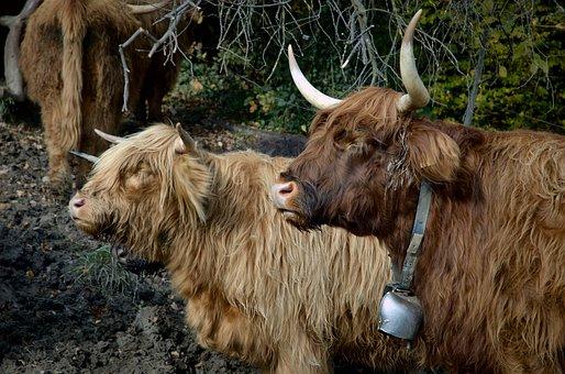 Highland Beef, Cow, Beef, Shaggy, Horns