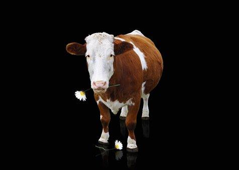 Cow, Beef, Animal, Milk Cow, Mammals, Horns