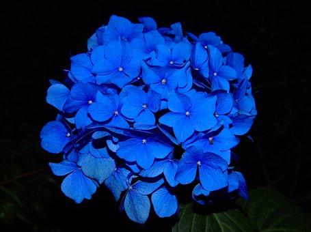Hydrangea, Blossom, Bloom, Flower, Garden Plant, Blue