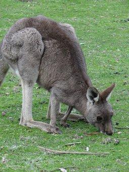 Kangaroo, Grass, Marsupial, Animal, Brown, Mammal