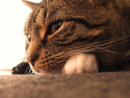 Cat, Mackerel, Grey Tabby, Eyes, Paws, Female, Concerns