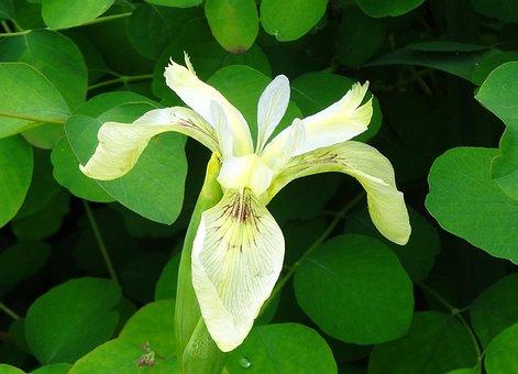 Bog Iris, Iris, Flower, Wetland, Cream, Marsh, Plant